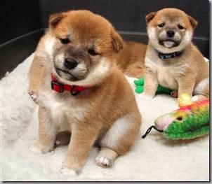 Shibu Inu Puppies