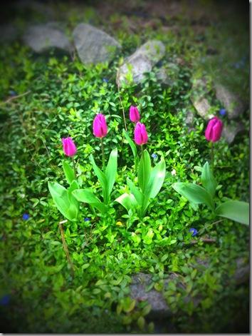 Tulips - 04-16-10