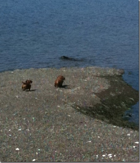 Dogs checking out sea otter