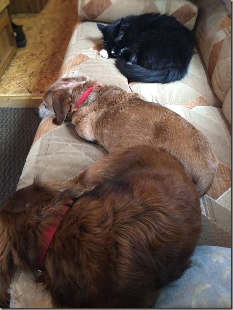 Bailey-Peanut-Wylie on Harstine Trailer Couch 1-18-14