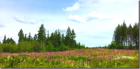 Foxglove Meadow 6-17-17