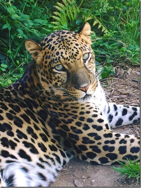 Leopard Turbo