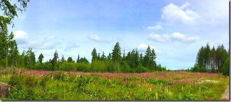 Field of Foxglove 6-17-17