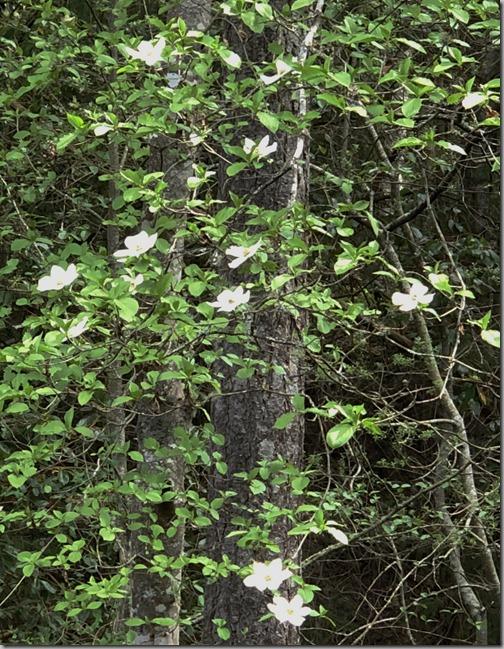 Dogwood Blooms-2 4-21