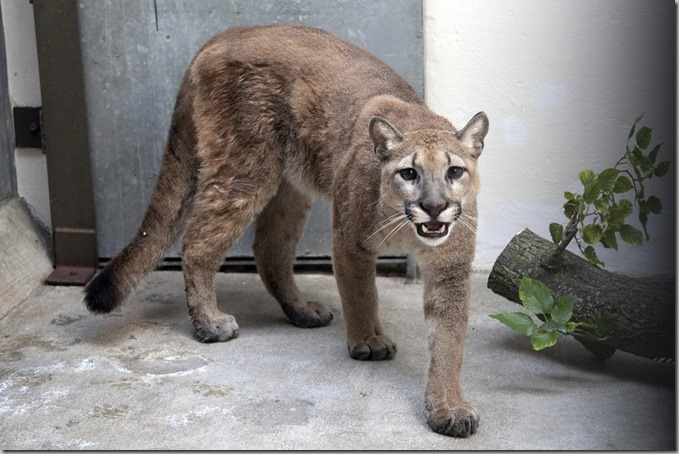 Cougar up close and personal