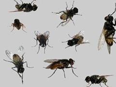 flies_big